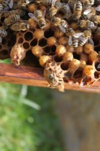 včelia matka sa liahne - vystrčila hlavu a hruď